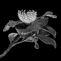 Camellia in Black & White