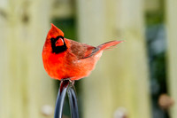 A Cardinal Surveys